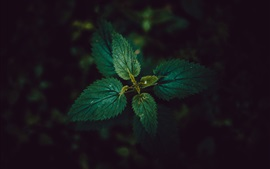 Nettle leaves, black background