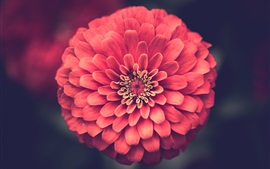 Preview wallpaper One pink zinnias flower macro photography