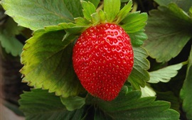One ripe strawberry macro photography, green leaves