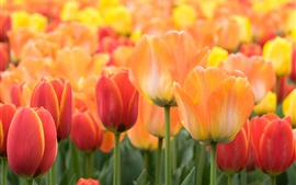 Preview wallpaper Orange and red tulips flowers