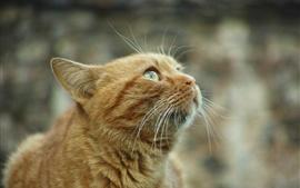Оранжевая кошка смотрит вверх, любопытство