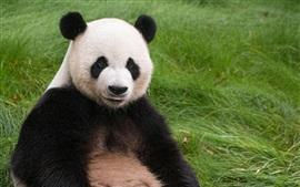Панда сидит на траве, смотри на тебя