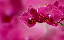 Pink phalaenopsis, pink background