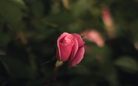 Preview wallpaper Pink rose bud, bokeh
