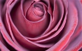 Preview wallpaper Pink rose, bud, petals, macro photography