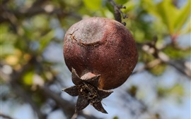 Preview wallpaper Pomegranate tree, ripe fruit
