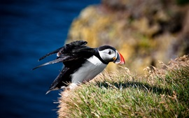 Preview wallpaper Puffin take off, grass