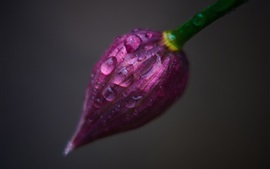 Preview wallpaper Purple flower bud close-up, water drops