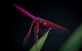 Preview wallpaper Red dragonfly, leaf, black background