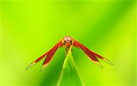 Preview wallpaper Red dragonfly rest, wings, green background