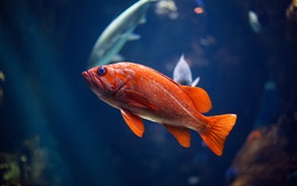 Preview wallpaper Red fish, underwater