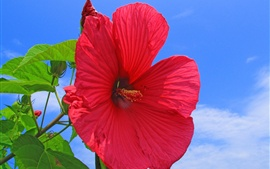 Preview wallpaper Red hibiscus flower, blue sky