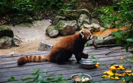 Preview wallpaper Red panda, food, zoo