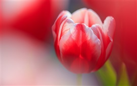 Preview wallpaper Red tulip macro photography, bokeh