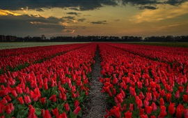 Preview wallpaper Red tulips field, dusk