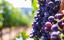 Preview wallpaper Ripe purple grapes, fruit