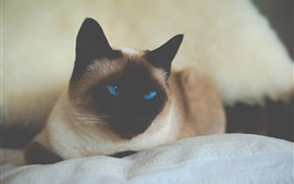 Preview wallpaper Siamese cat, blue eyes