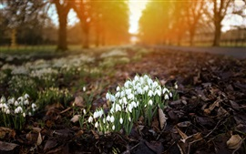 Snowdrops, white flowers, trees, path, blurry background