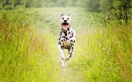 Cão manchado correndo, verão, grama