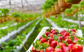 Preview wallpaper Strawberry planting garden