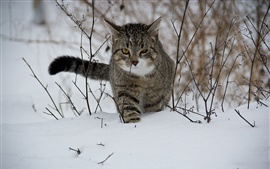 Preview wallpaper Striped cat walking in the snow, winter