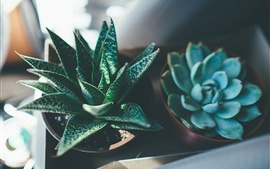 Aperçu fond d'écran Succulents, plantes d'intérieur