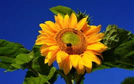 Preview wallpaper Sunflower photography, bee, blue sky