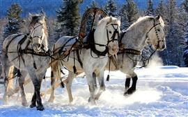 Três cavalos brancos, neve, inverno