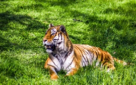 壁紙のプレビュー 虎休息、草、大きな猫