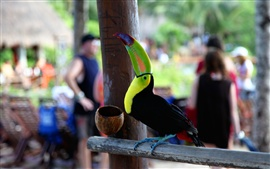 Toucan procura, pet