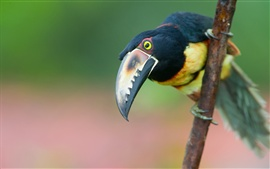 Toucan photography, beak, bokeh