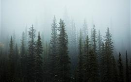 Arbres, forêt, brouillard, matin, neige