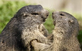 Preview wallpaper Two marmots face to face