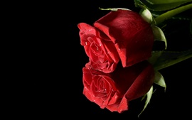 Two red roses, black background