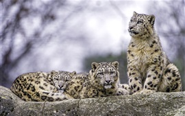 Preview wallpaper Two snow leopard, predators, rest