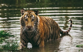 Preview wallpaper Wet tiger in water, look at you