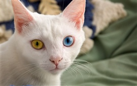 Preview wallpaper White cat, face, different color eyes, yellow and blue