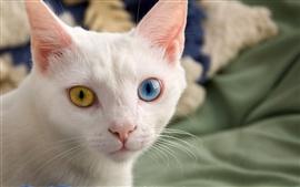 預覽桌布 白貓,臉,不同顏色的眼睛,黃色和藍色
