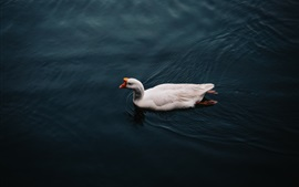 White geese swim in water