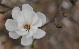 Preview wallpaper White petals flower macro photography, twigs