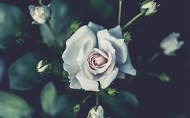 Preview wallpaper White rose photography, buds, blurry