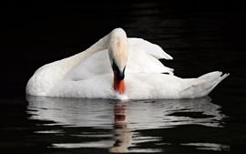 Cisne branco, água, fotografia animal