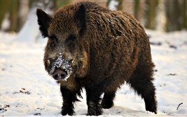 Wild pig, snout, snow, winter