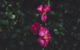 Preview wallpaper Wild roses, leaves
