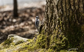 Preview wallpaper Woodpecker, tree, moss