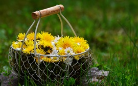 Yellow and white chamomile, basket, grass