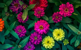 Preview wallpaper Zinnias flowers, yellow, pink, red