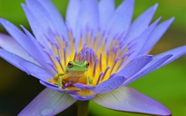 Preview wallpaper Amphibian, frog, blue petals water lily