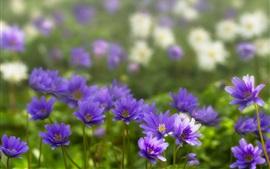 미리보기 배경 화면 아네모네, 푸른 꽃, 꽃잎