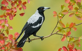 Australian magpie, twigs, red leaves